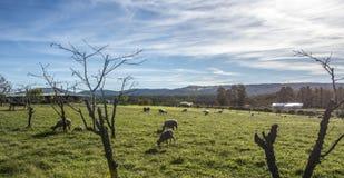Αυστραλιανά μερινός πρόβατα κατά τη βοσκή σε αγροτικό Στοκ φωτογραφία με δικαίωμα ελεύθερης χρήσης