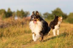 Αυστραλιανά σκυλιά ποιμένων που παίζουν σε μια πορεία χωρών Στοκ φωτογραφίες με δικαίωμα ελεύθερης χρήσης