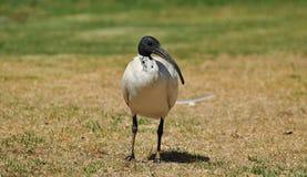 Αυστραλιανή άσπρη θρεσκιόρνιθα στοκ εικόνες με δικαίωμα ελεύθερης χρήσης