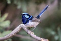 Αυστραλιανή μπλε θαυμάσια συνεδρίαση Wren νεράιδων σε έναν κλάδο στοκ φωτογραφία με δικαίωμα ελεύθερης χρήσης