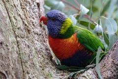 Αυστραλιανή συνεδρίαση ουράνιων τόξων parakeet σε ένα δέντρο στοκ φωτογραφία με δικαίωμα ελεύθερης χρήσης