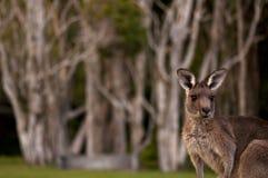 αυστραλιανός θάμνος Στοκ Φωτογραφίες