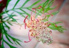 αυστραλιανός ντόπιος grevillea στοκ εικόνα