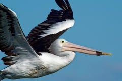 Αυστραλιανός πελεκάνος - conspicillatus Pelecanus - μεγάλο άσπρο πουλί νερού Στοκ φωτογραφίες με δικαίωμα ελεύθερης χρήσης