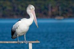 Αυστραλιανός πελεκάνος - conspicillatus Pelecanus - μεγάλο άσπρο πουλί νερού Στοκ Φωτογραφίες