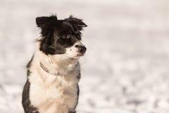 αυστραλιανός ποιμένας σκυλιών Πορτρέτο μπροστά από ένα χιονώδες υπόβαθρο στοκ εικόνες