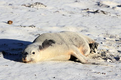 Αυστραλιανό λιοντάρι θάλασσας Στοκ Εικόνες