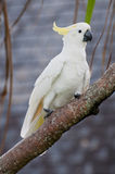 αυστραλιανό πουλί στοκ φωτογραφίες