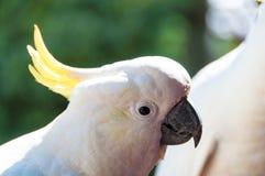 Αυστραλιανό πουλί cockatoo θείου λοφιοφόρο Στοκ εικόνα με δικαίωμα ελεύθερης χρήσης