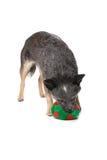 αυστραλιανό σκυλί βοο&epsil Στοκ Εικόνες