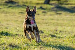 Αυστραλιανό σκυλί κουταβιών Kelpie που τρέχει με πλήρη ταχύτητα στοκ εικόνες