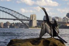 Αυστραλιανό Darter Στοκ Φωτογραφίες