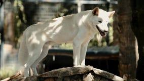 Αυστραλιανό Dingo απόθεμα βίντεο