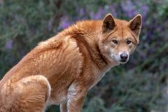 αυστραλιανό dingo στοκ φωτογραφίες