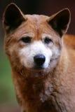 αυστραλιανό dingo Στοκ Εικόνες