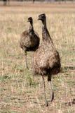 αυστραλιανό emus στοκ φωτογραφία