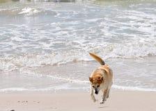 Αυστραλιανό Heeler Στοκ φωτογραφία με δικαίωμα ελεύθερης χρήσης