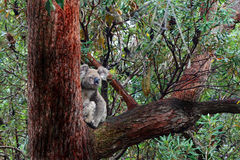 Αυστραλιανό Koala άγριο & ελεύθερο στο μεγάλο παλαιό δέντρο γόμμας Στοκ Φωτογραφία