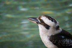 αυστραλιανό kookaburra Στοκ φωτογραφίες με δικαίωμα ελεύθερης χρήσης