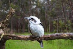 αυστραλιανό kookaburra Στοκ εικόνες με δικαίωμα ελεύθερης χρήσης