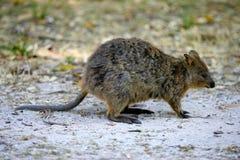αυστραλιανό quokka στοκ φωτογραφίες με δικαίωμα ελεύθερης χρήσης