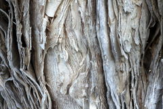 Αυστραλία: γκρίζα σύσταση φλοιών εγγράφου δέντρων ευκαλύπτων Στοκ Εικόνες