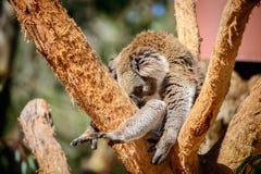 αυστραλιανά αντέξτε το koala Στοκ εικόνες με δικαίωμα ελεύθερης χρήσης