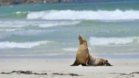 Αυστραλιανά λιοντάρια θάλασσας, κόλπος σφραγίδων, νησί καγκουρό Στοκ Εικόνα