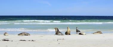 Αυστραλιανά λιοντάρια θάλασσας, κόλπος σφραγίδων, νησί καγκουρό Στοκ Εικόνες