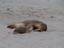 Αυστραλιανά λιοντάρια θάλασσας Στοκ Φωτογραφία