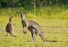 Αυστραλιανά καγκουρό στη χλόη Στοκ Εικόνες