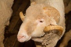 Αυστραλιανά μερινός πρόβατα Στοκ εικόνες με δικαίωμα ελεύθερης χρήσης