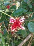 Αυστραλιανά λουλούδια Στοκ Εικόνα
