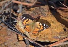 Αυστραλιανά που χρωματίζεται την κυρία Butterfly, Στοκ Φωτογραφία