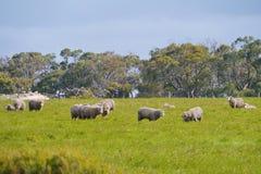 Αυστραλιανά πρόβατα κατά τη βοσκή Στοκ Φωτογραφίες