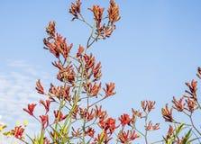 Αυστραλιανά πόδια καγκουρό Wildflower Στοκ Φωτογραφία
