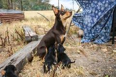 Αυστραλιανά ταΐζοντας κουτάβια σκυλιών προβάτων kelpie Στοκ Εικόνα