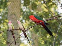 αυστραλιανά scapularis παπαγάλων &b Scapularis Alisterus Στοκ Φωτογραφίες