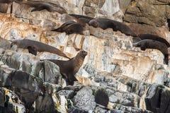 Αυστραλιανές σφραγίδες γουνών που κάνουν ηλιοθεραπεία Friars κοντά στο νησί Bruny Στοκ εικόνα με δικαίωμα ελεύθερης χρήσης