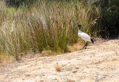 Αυστραλιανή άσπρη θρεσκιόρνιθα από τις χλόες υγρότοπου στοκ φωτογραφία