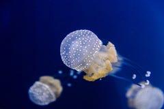 Αυστραλιανή επισημασμένη μέδουσα saltwater στοκ φωτογραφία με δικαίωμα ελεύθερης χρήσης