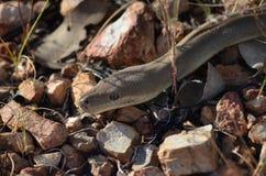 Αυστραλιανή ελιά Python Στοκ Εικόνα