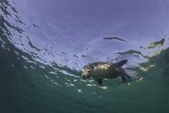 αυστραλιανή θάλασσα λιονταριών Στοκ εικόνα με δικαίωμα ελεύθερης χρήσης