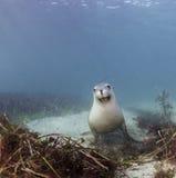 αυστραλιανή θάλασσα λιονταριών Στοκ Εικόνες