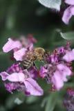 Αυστραλιανή μέλισσα μελιού Στοκ φωτογραφίες με δικαίωμα ελεύθερης χρήσης
