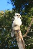 Αυστραλιανή συνεδρίαση πουλιών Kookaburra στον κλάδο δέντρων Στοκ Φωτογραφία