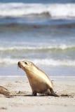 αυστραλιανή φαιάς ουσία& στοκ φωτογραφία με δικαίωμα ελεύθερης χρήσης