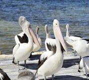 Αυστραλιανοί πελεκάνοι, νησί καγκουρό Στοκ Εικόνα