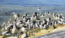 Αυστραλιανοί πελεκάνοι, νησί καγκουρό Στοκ εικόνα με δικαίωμα ελεύθερης χρήσης