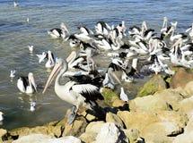 Αυστραλιανοί πελεκάνοι, νησί καγκουρό Στοκ Φωτογραφίες